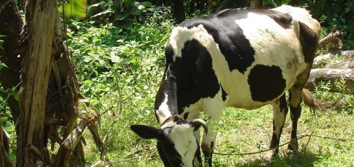 ganado y cultivo