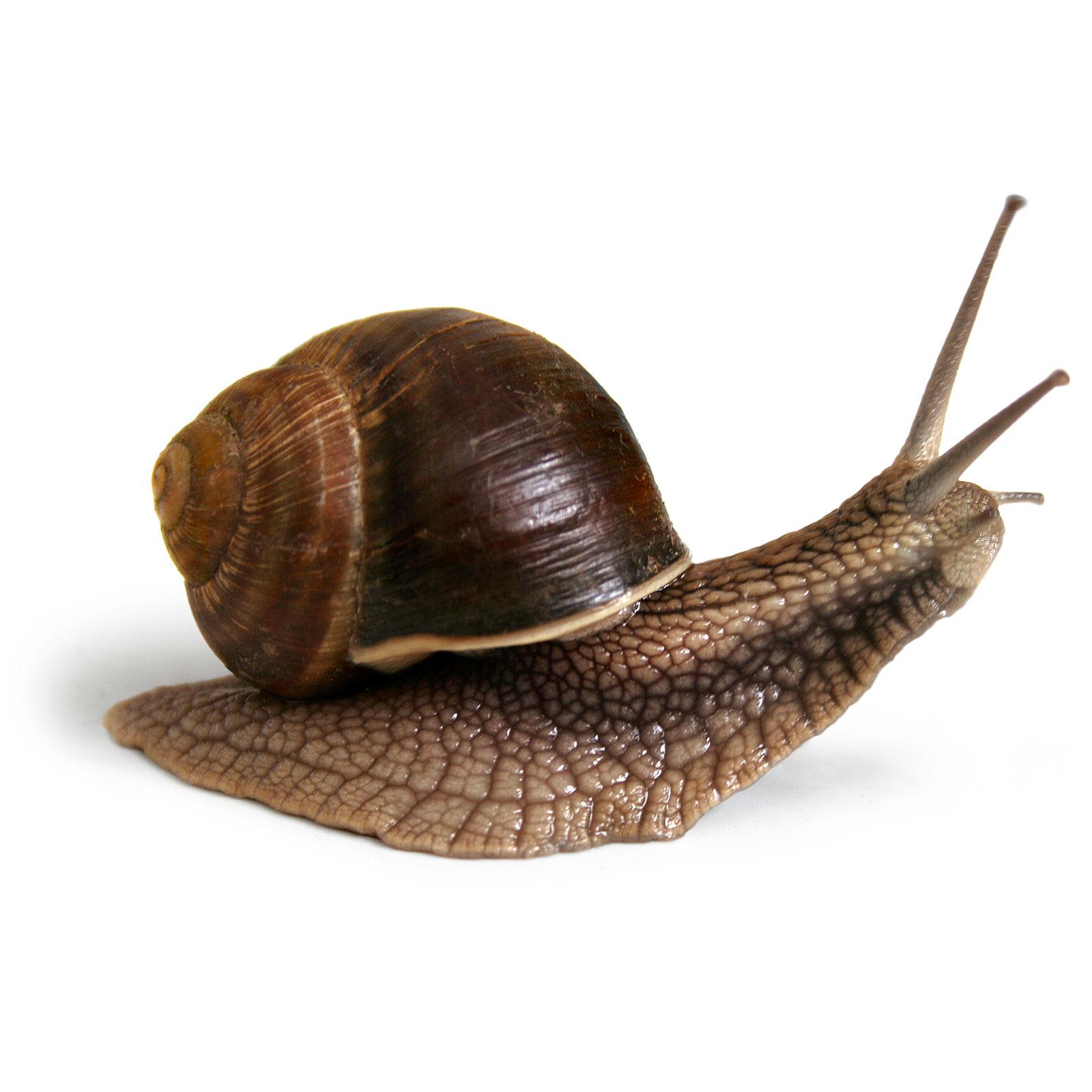 Cr a de caracol helix aspersa abc del finkero for Como criar caracoles de jardin