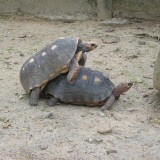 zoocria tortugas
