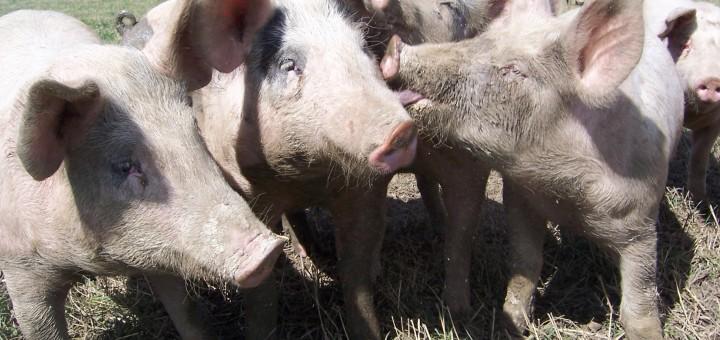 estrés en cerdos