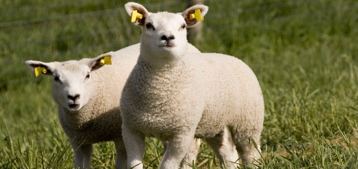 madres y crias de ovejas