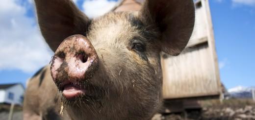 nutrición de cerdos