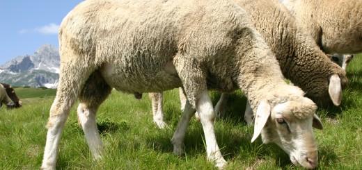 castración de ovejas