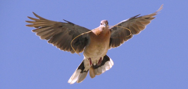 paloma común