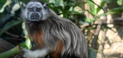 saguinus_leucopus_alex_meyer_cali_zoo_columbia_1-189516