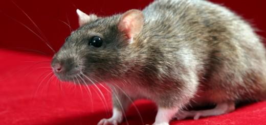 ratas1