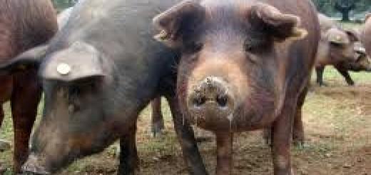 cerdos entre palma