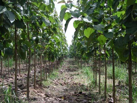 Árboles en nuestras fincas: Teca - ABC del Finkero