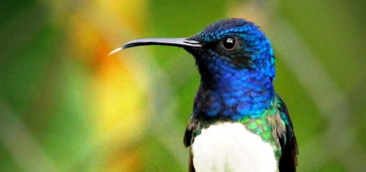 colibrí collarejo