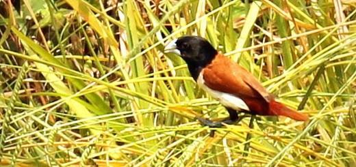 monjita tricolor