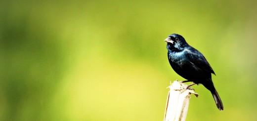 volatinero negro