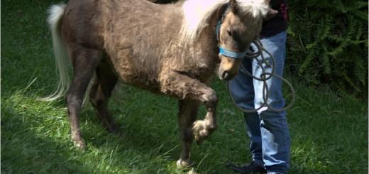 mini horse1