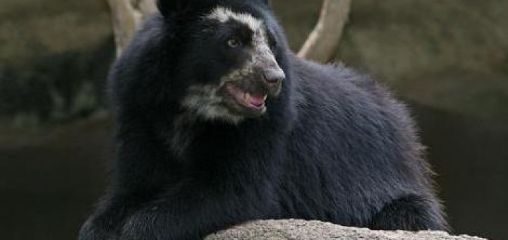 spectacled_bear