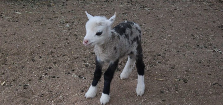oveja o cabra