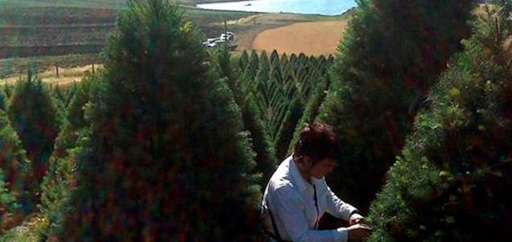 árboles de navidad1