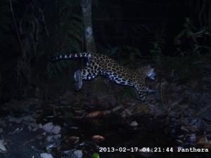 Jaguar en una finca. Foto Panthera Colombia.