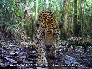 Hembra jaguar con cría. Foto Panthera Colombia