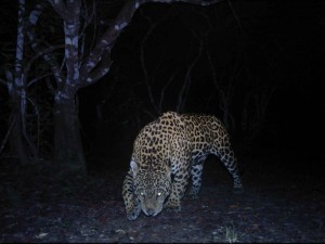 Jaguar. Foto Panthera Colombia.