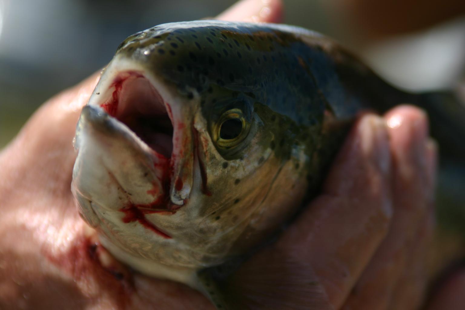 Producci n de trucha y tilapia afectar a a peces nativos for Criaderos de truchas y tilapias