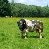 Belgian_Blue_Bull