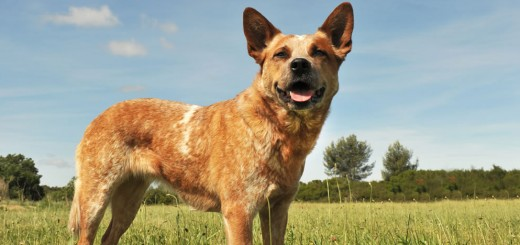 Australian-Cattle-Dog-3