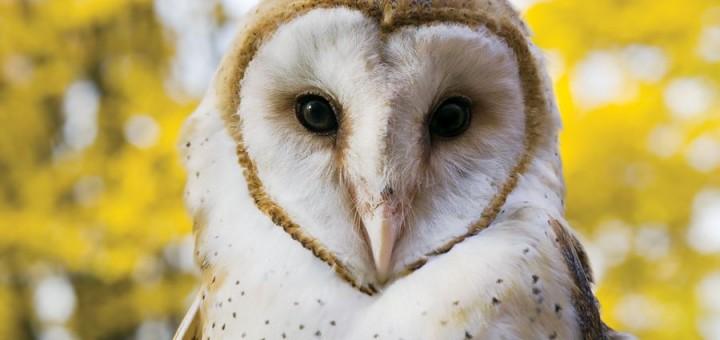 barn_owl (1)