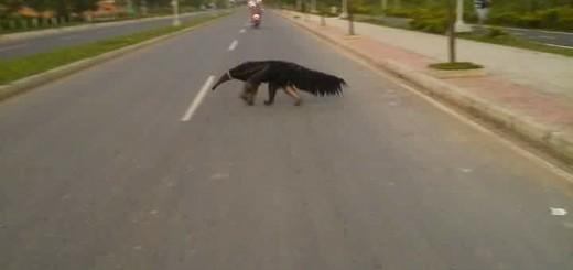 oso palmero cruzando calle