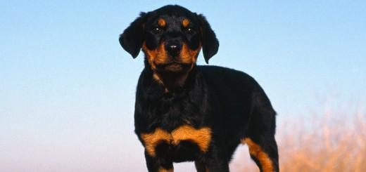 Rottweiler-Puppy-puppies-9460976-1600-1200
