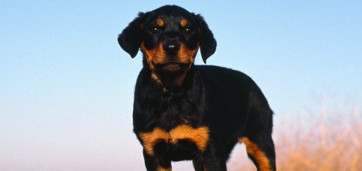 Rottweiler-Puppy-puppies-9460976-1600-1200