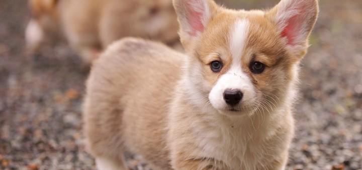 corgi-puppy