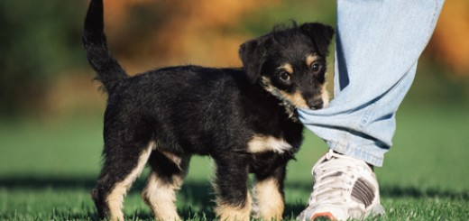 getty_rf_photo_of_puppy_biting_pant_leg