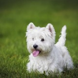 A Westie playing in a backyard with her tongue out tired from running. West Highland White Terrier.