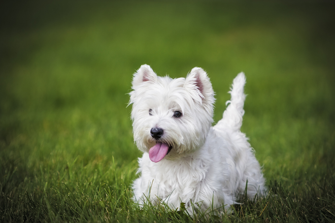 Small White Dog Rescue