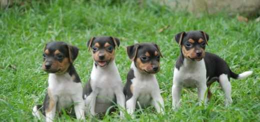 Terrier-Brasileño-10