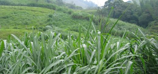 PASTO KING GRASS