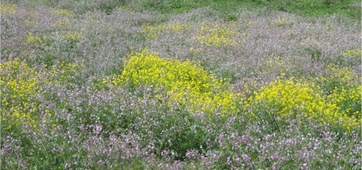 flores de campo