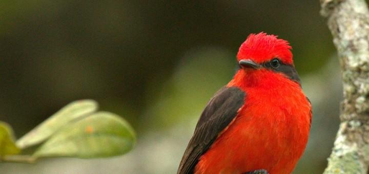 Peri Rojo
