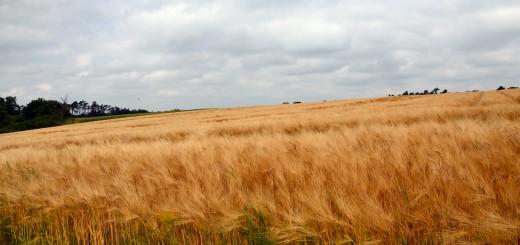 cultivos de maiz