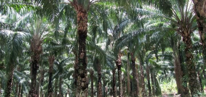 palma-africana
