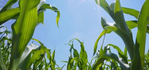 Corn Field in Summer Drought