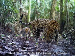 Hembra jaguar con cría. Foto Panthera Colombia.