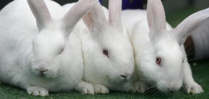 conejos nueva zelanda