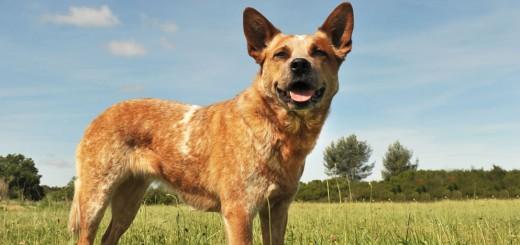Australian-Cattle-Dog-3