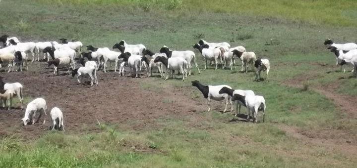 ovejas curazao