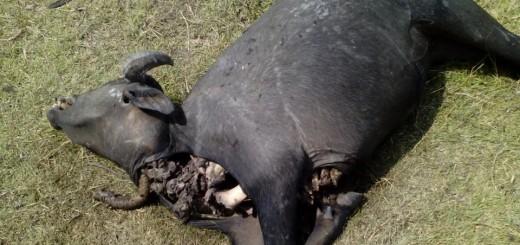 bufala depredada