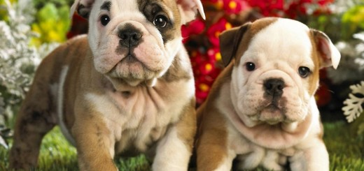 bulldog_puppies
