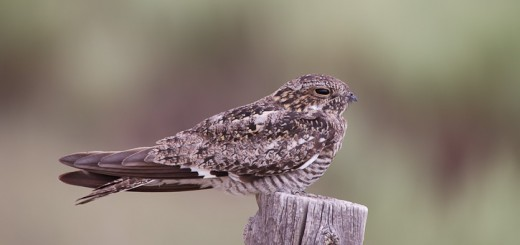 Common Nighthawk Chordeiles minor Brett Gray Ranch Nature Conservancy property Lincoln Co., Colorado 7 July 2011